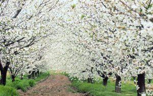 Fiesta Primavera y Cerezo en Flor del Valle del Jerte, Cerezo en Flor, fiestas españa,
