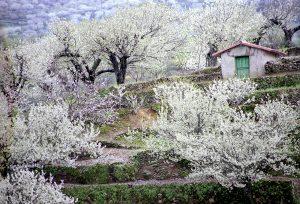 Fiesta Primavera y Cerezo en Flor del Valle del Jerte, fiestas españa, cerezo en flor, cerezas