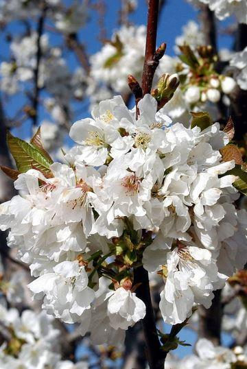 Fiesta Primavera y Cerezo en Flor del Valle del Jerte